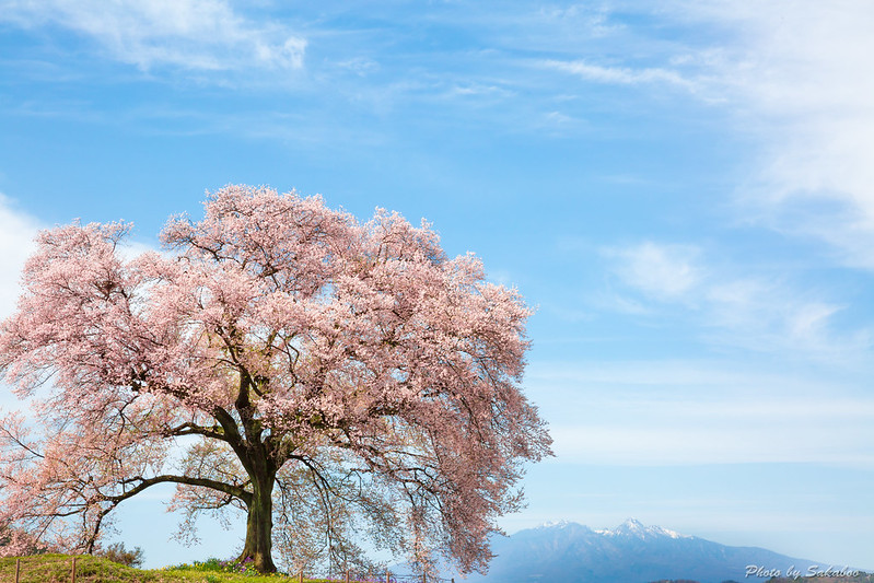 A Single Cherry Blossom Tree