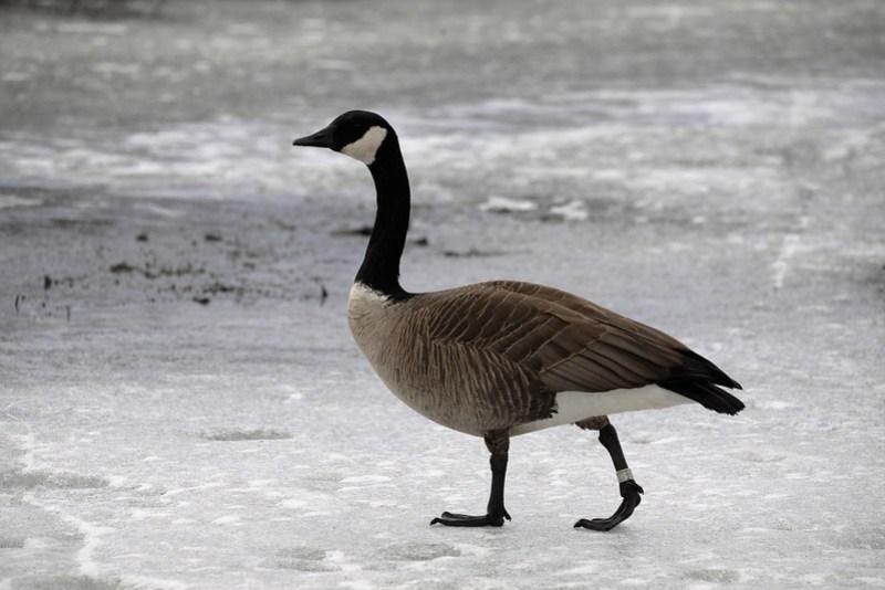 _DSC3204 Canada Goose