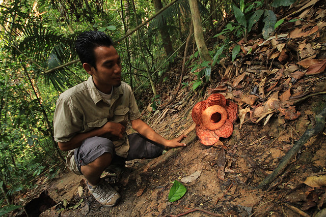 Rafflesia cantleyi at Belum-Temenggor Rainforest