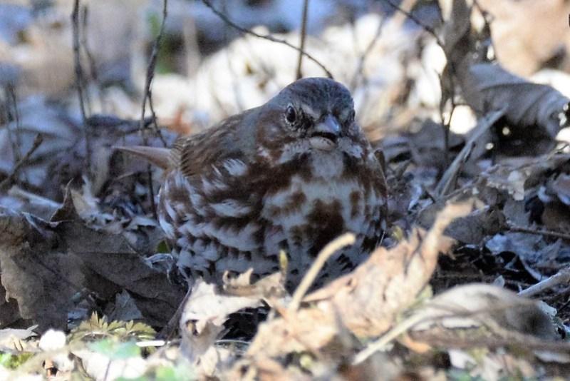 _DSC6009 Fox Sparrow