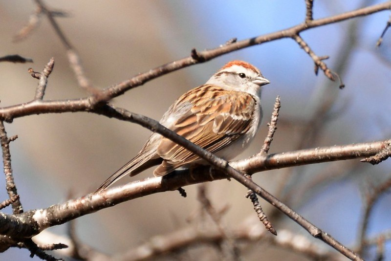 _DSC6185 Chipping Sparrow