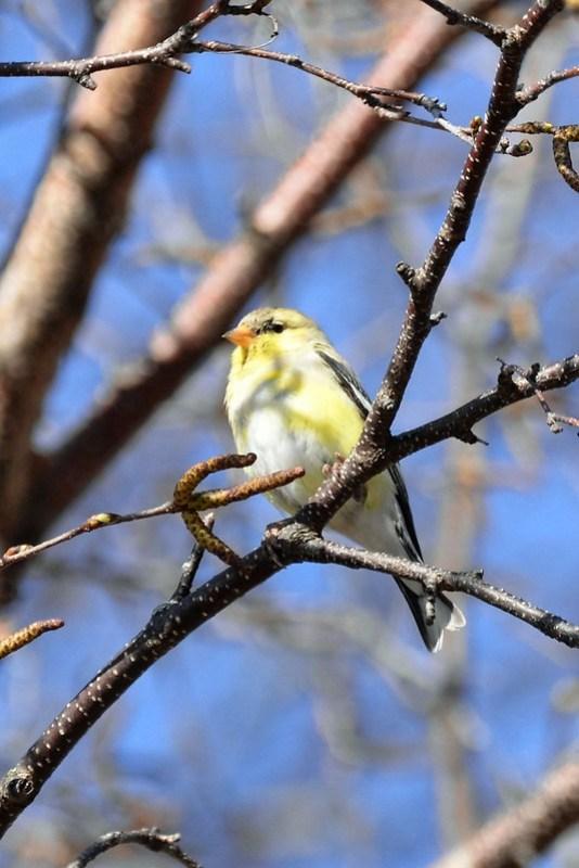 _DSC6178 American Goldfinch