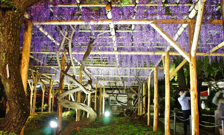 Kameido Wisteria Night illuminations
