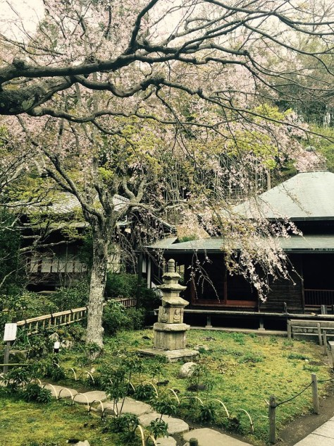 Cherry Blossoms @FujisawaCity & Kamakura City(2016)
