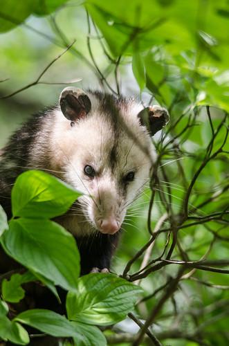 Yard Possum-6