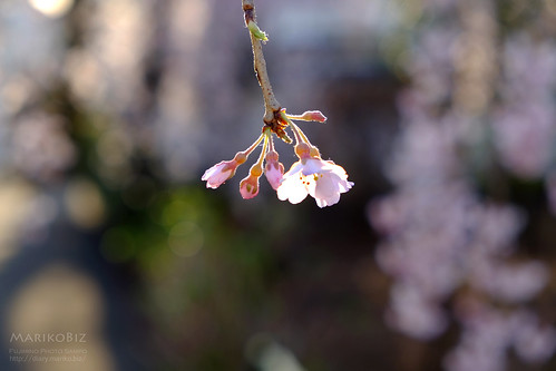 地蔵院しだれ桜 20160322-DSCF2132