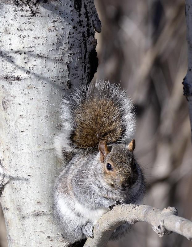 _DSC2801 Squirrel