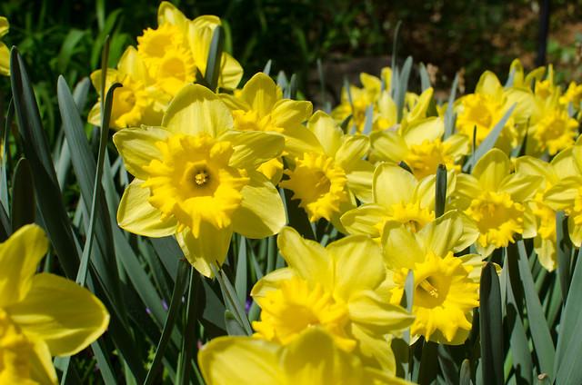 Daffodils-001