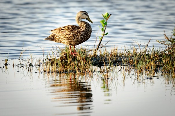 A Mottled Duck