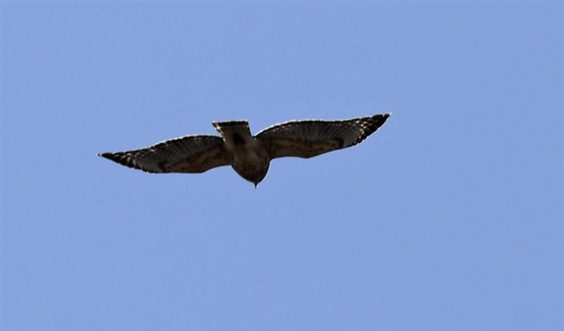 _DSC2634 Red-shouldered Hawk