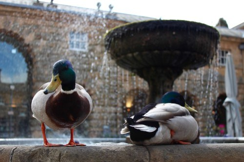 Ducks in the Fountain