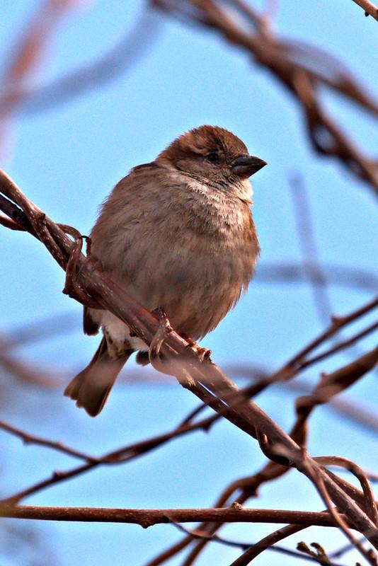 _DSC3997  House Sparrow (f)