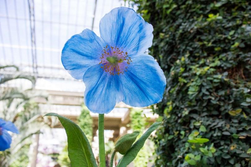 longwood-blue-poppy-open
