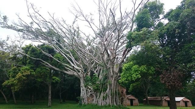 Nouvelle Calédonie Plum