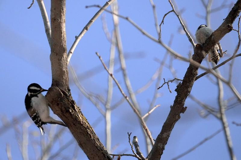 _DSC5069 Hairy & Downy Woodpecker