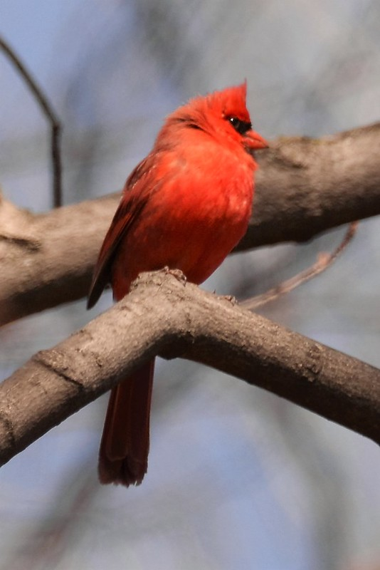 _DSC6659 Northern Cardinal