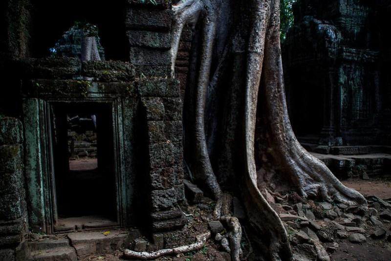Baum aus Angkor