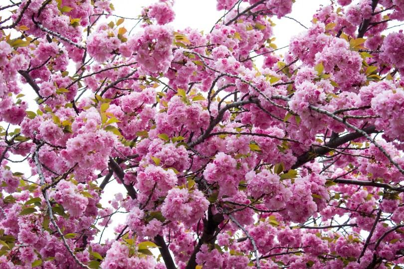wilmington-brandywine-historical-cemetary-pink-tree