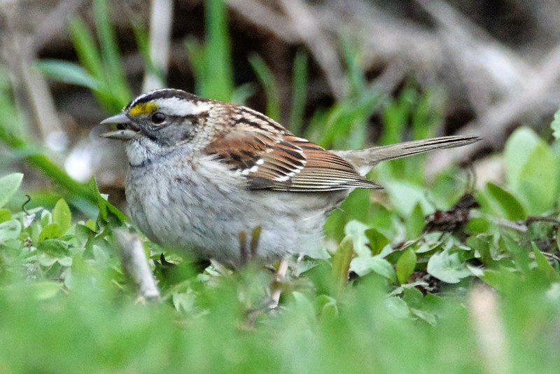 _DSC6968 White-throated Sparrow