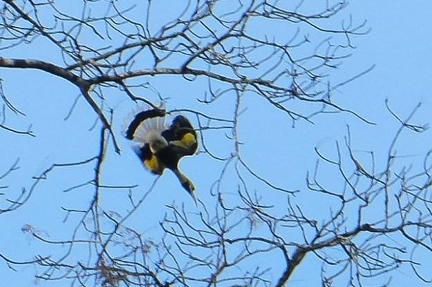 Great hornbill. Khao Sok