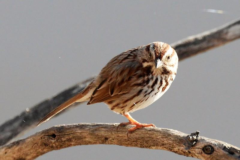 _DSC6135 Song Sparrow