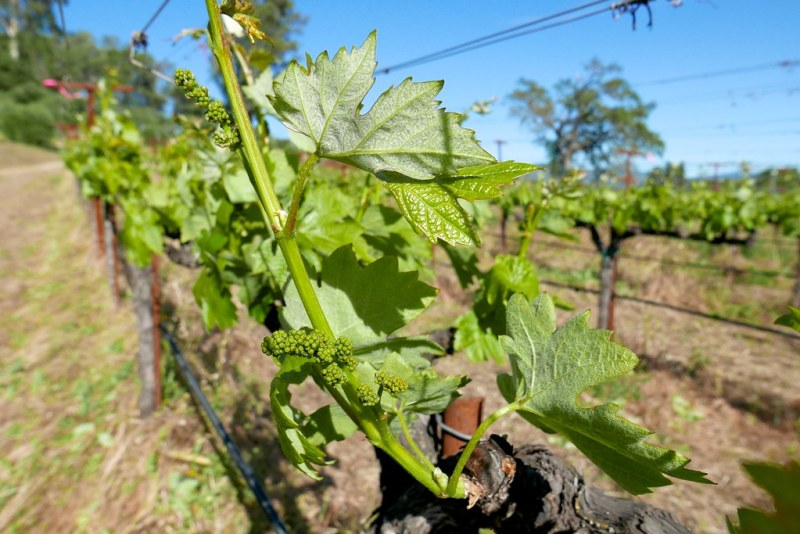 Zinfandel grapes have a high sugar content and grow in tight bunches making them susceptible to