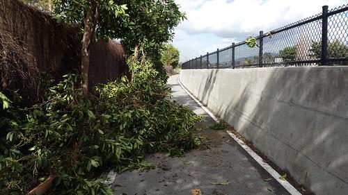 Trees down on San Tomas Aquino Trail Santa Clara California