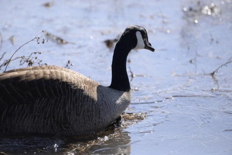 _DSC5119 Canada Goose