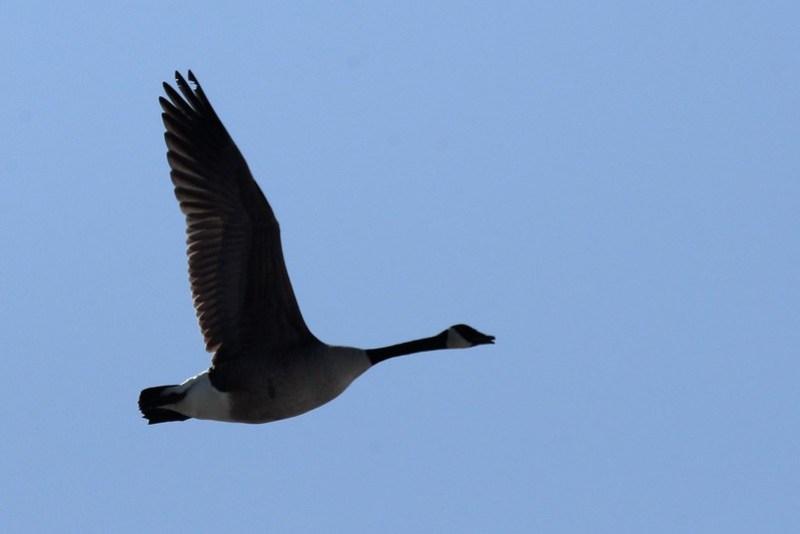 _DSC3688 Canada Goose
