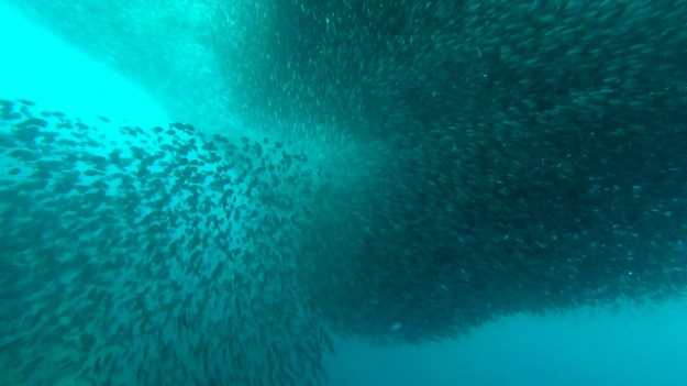 Sardine cloud. Moalboal