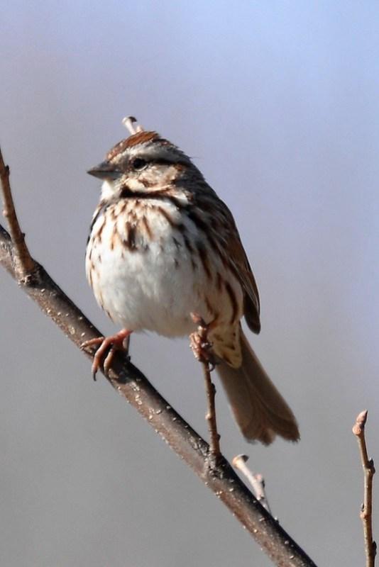_DSC5560 Song Sparrow