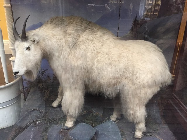 Specimen of the big and furry Himalayan goat