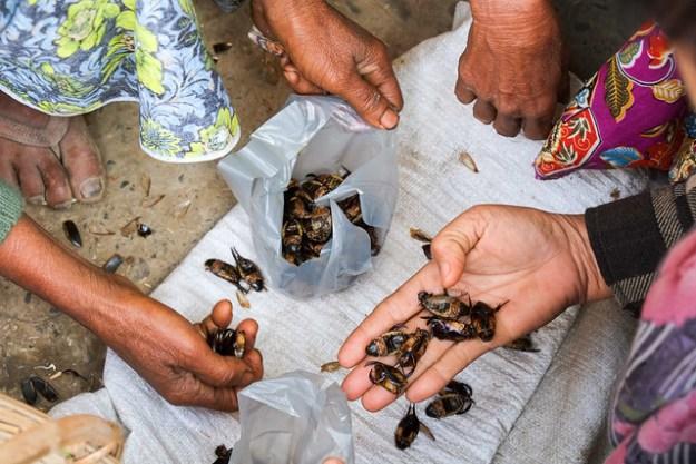Selecting  bugs. Mrauk U