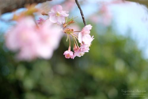 河津桜 20160222-DSCF8222