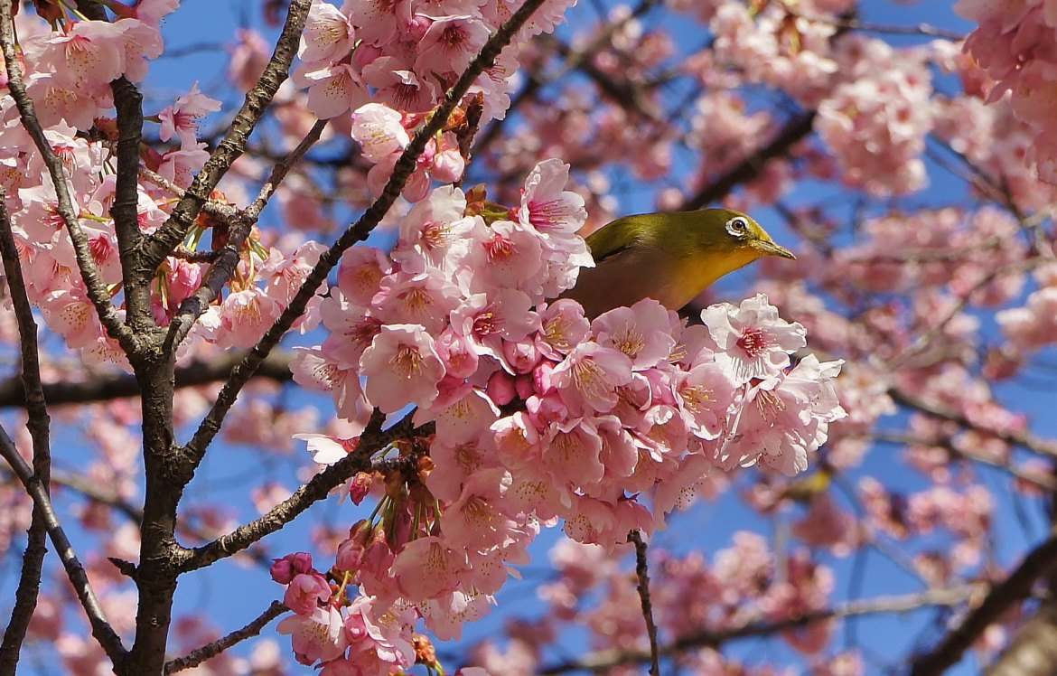 Shinjuku Gyoen and Mejiro birds during Cherry Blossoms
