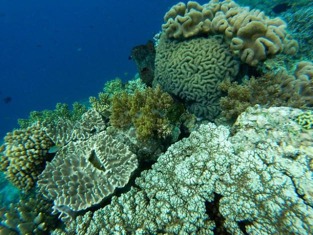 Coral at Pulau Hatta