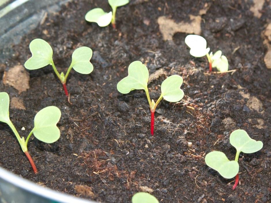 Moestuin beginnen: 6 tips voor een gezonde en succesvolle start • CherryCharlie.nl   radijs   verspenen   tuin   balkontuin