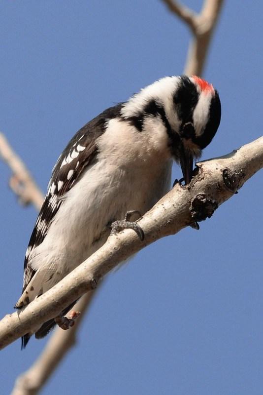 _DSC3630 Downy Woodpecker