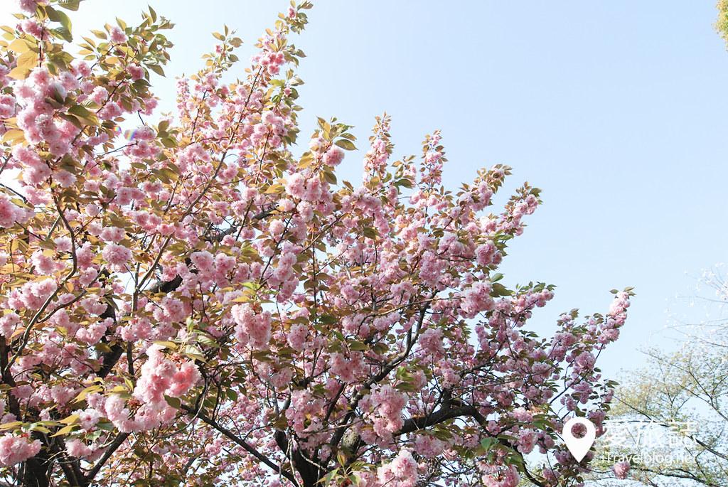 京都赏樱景点 元离宫二条城 39