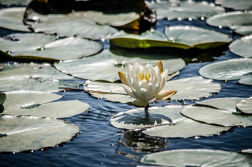 Water Lily-001