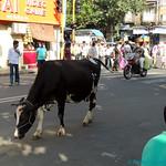 01 BOMBAY 25-las-vacas-a-su-rollo