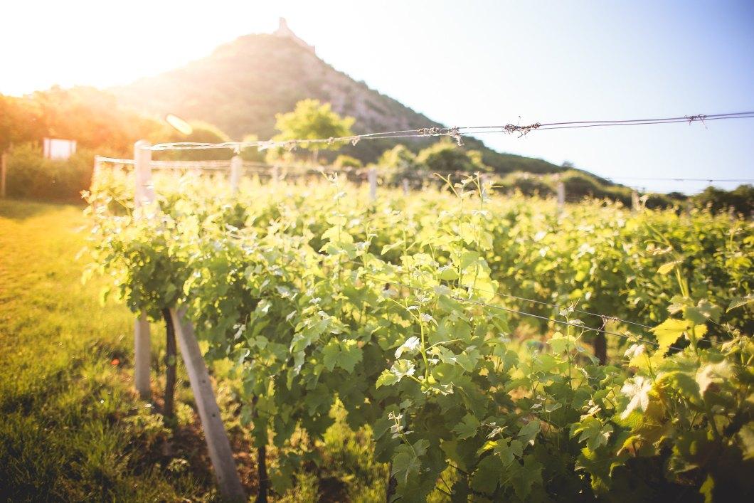 Imagen gratis de unas viñas