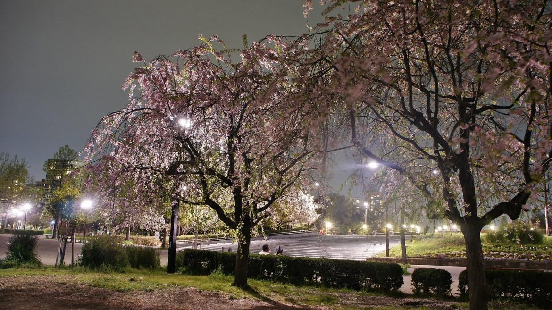 Kiba Park Cherry Blossom Illumination