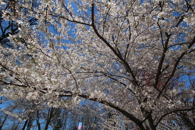 Branch Brook Park Cherry Blossom 2016