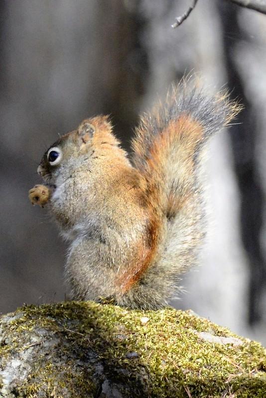 _DSC6208 Red Squirrel