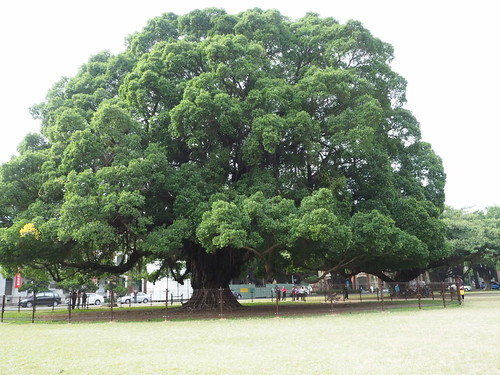 成功大学昭和天皇のガジュマルの木