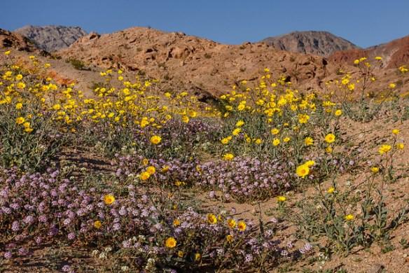 Desert Gold and Sand Verbena