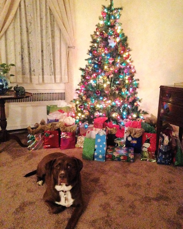 Pitbull and Christmas tree