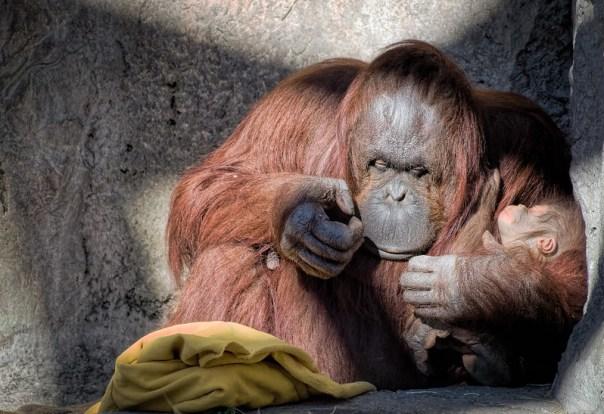 Baby Orangutan and Mom are both a little sleepy.