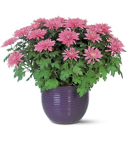 Chrysantheium-morifolium